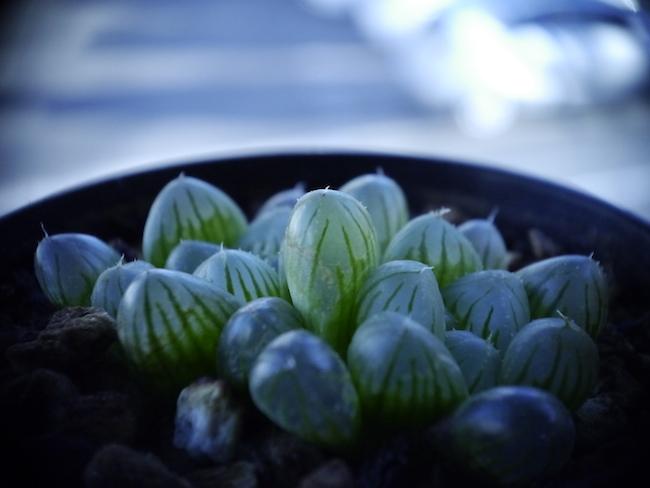 多肉植物 オブツーサ