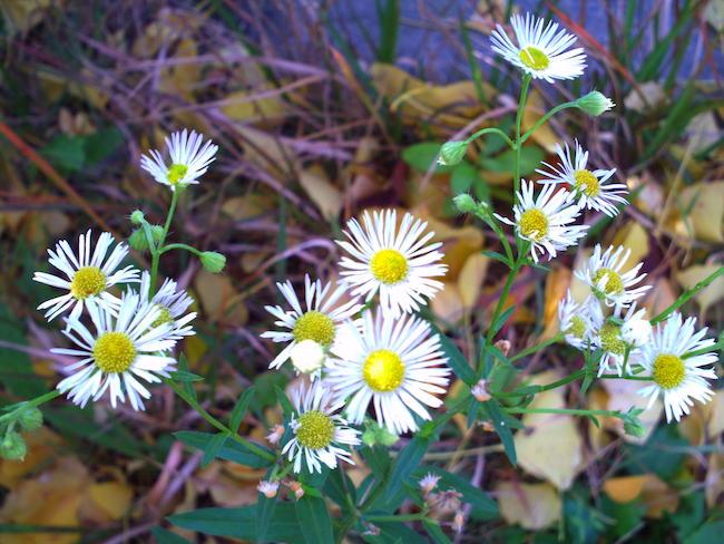 Kenko DSC50N:白い花