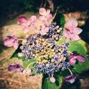 iPhone 紫陽花写真