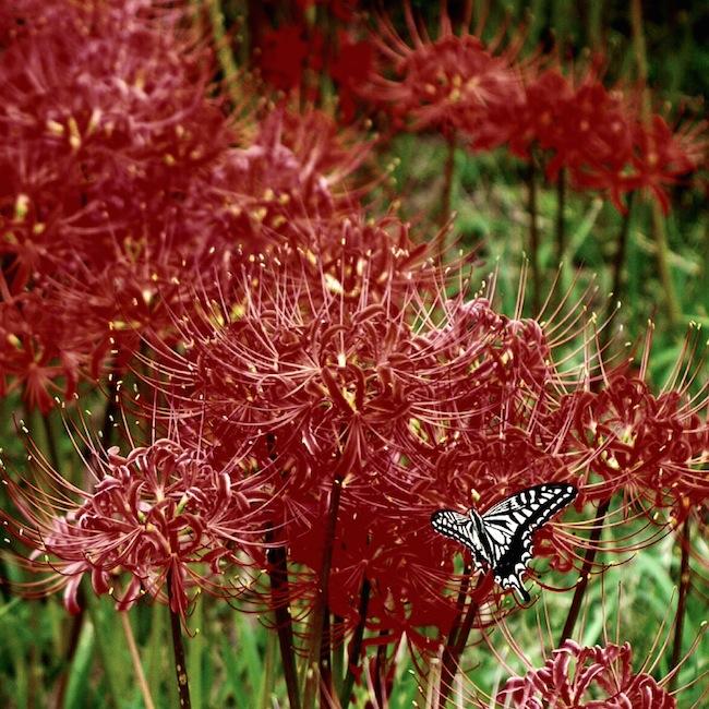 彼岸花 蝶々