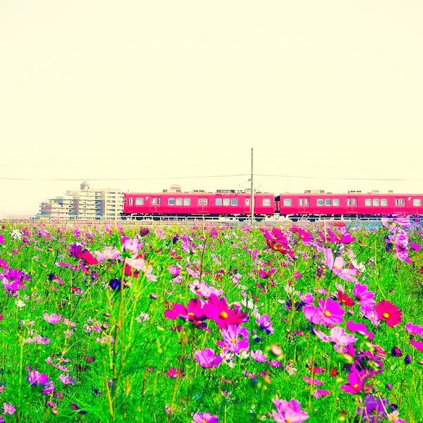 コスモスと電車