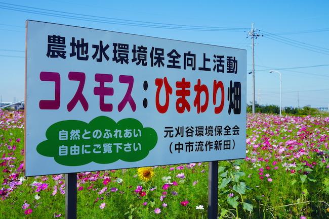 刈谷 コスモス畑