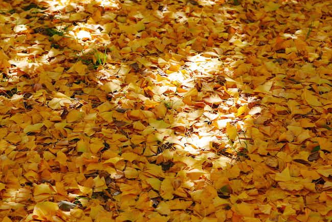 イチョウ 絨毯