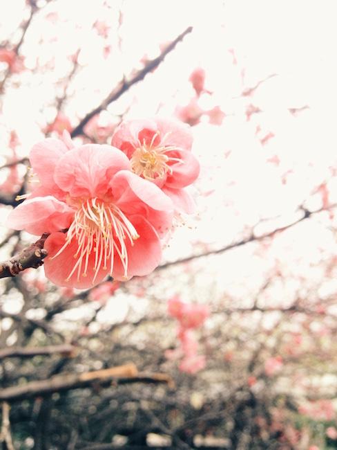 梅の花 iPhone