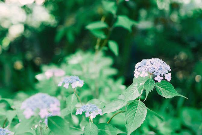 浜名湖ガーデンパーク 紫陽花