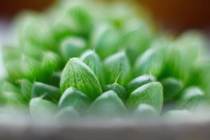 多肉植物 マクロ