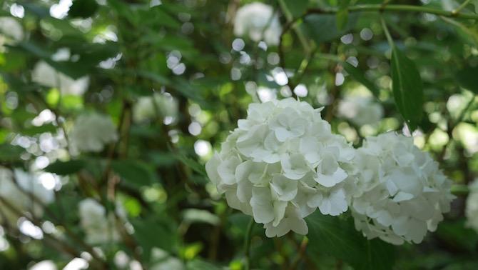 幸田町 紫陽花