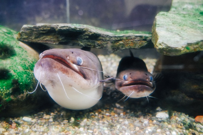 竹島水族館 なまず