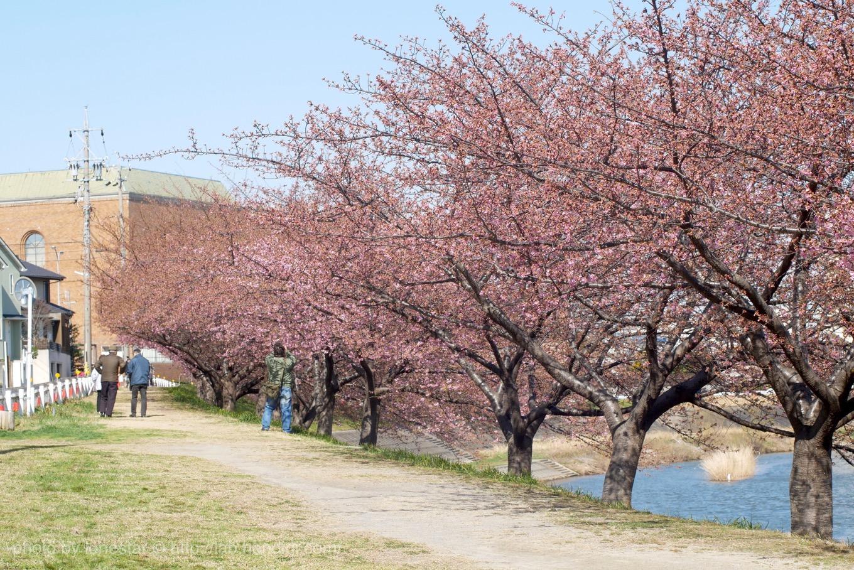 岡崎 河津桜 2018