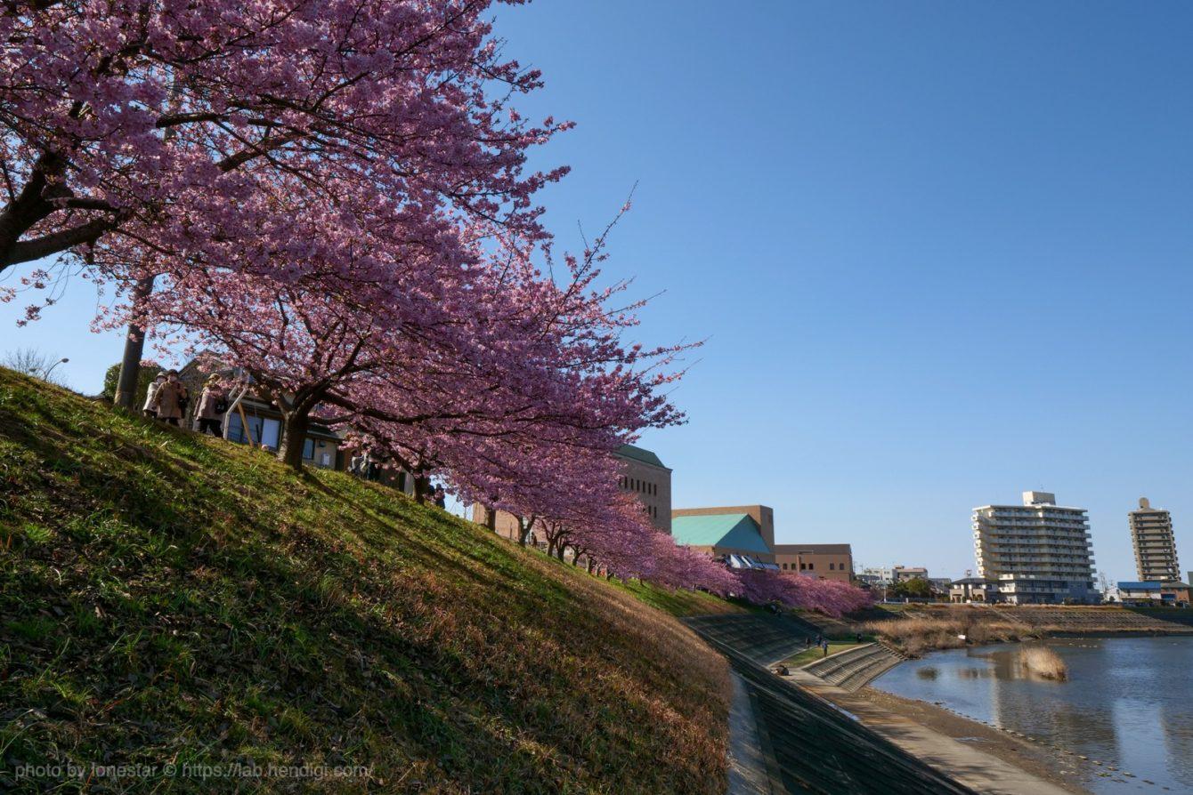 岡崎市 河津桜 2020年