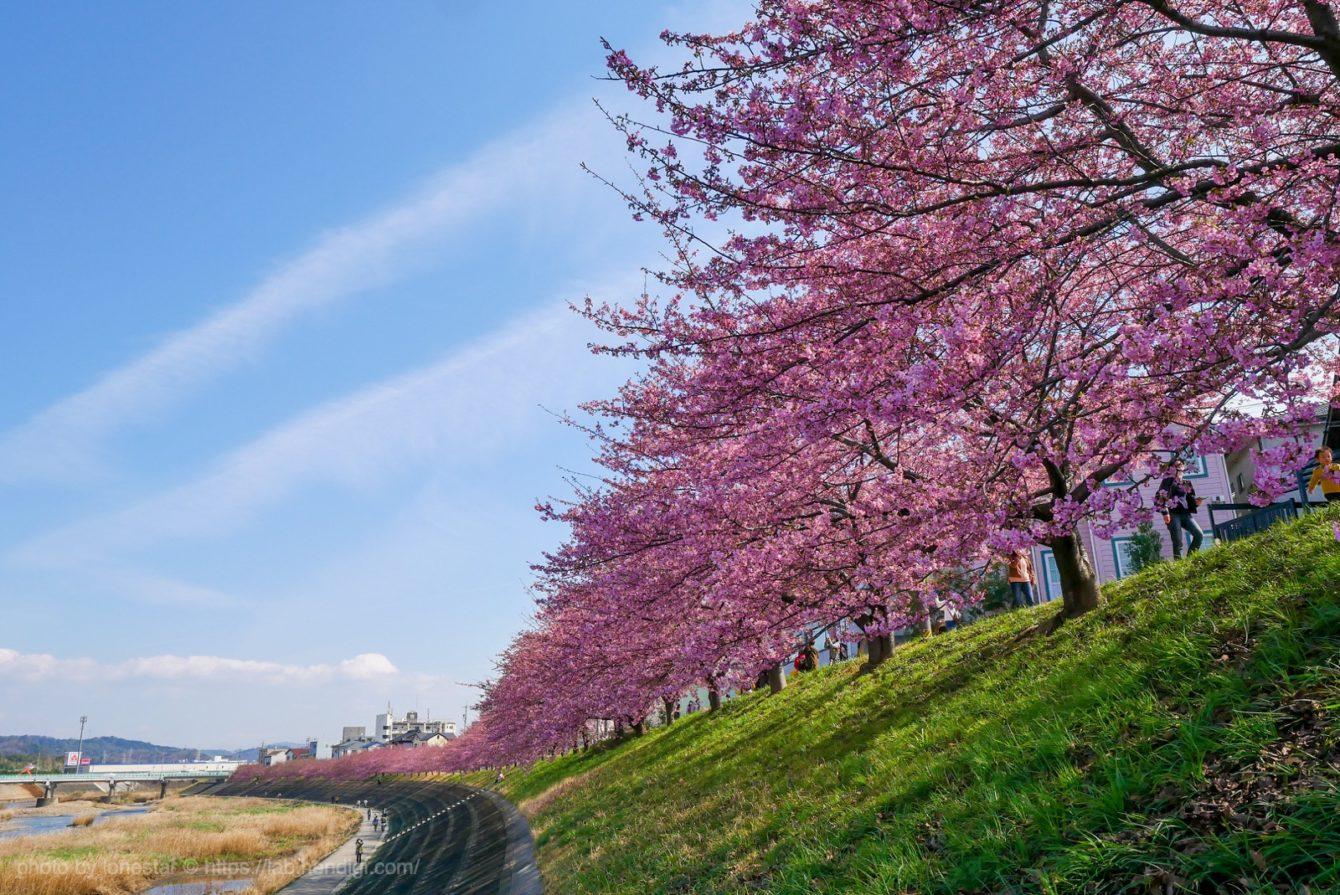岡崎市 葵桜