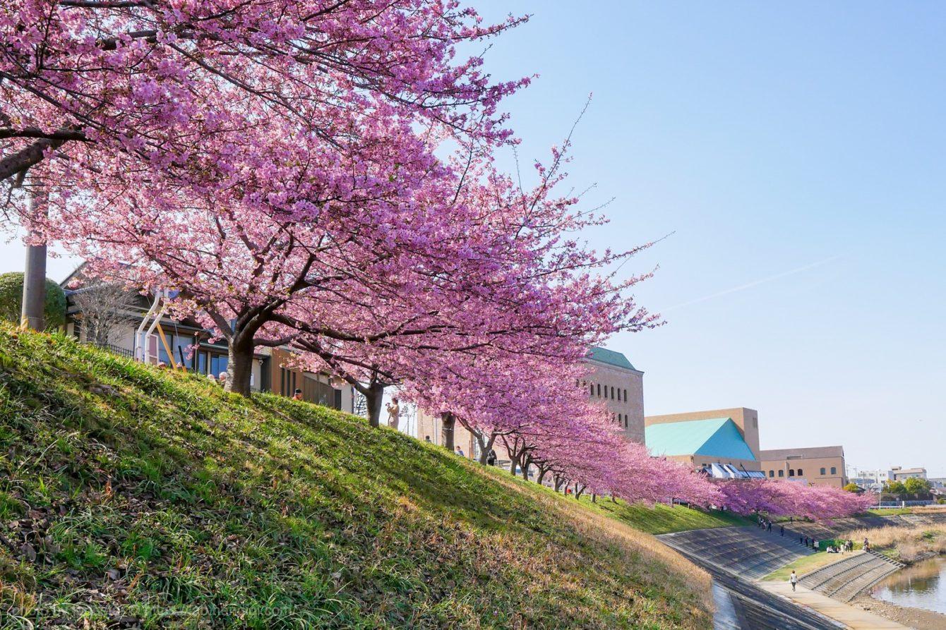 岡崎市 竜美丘会館 河津桜