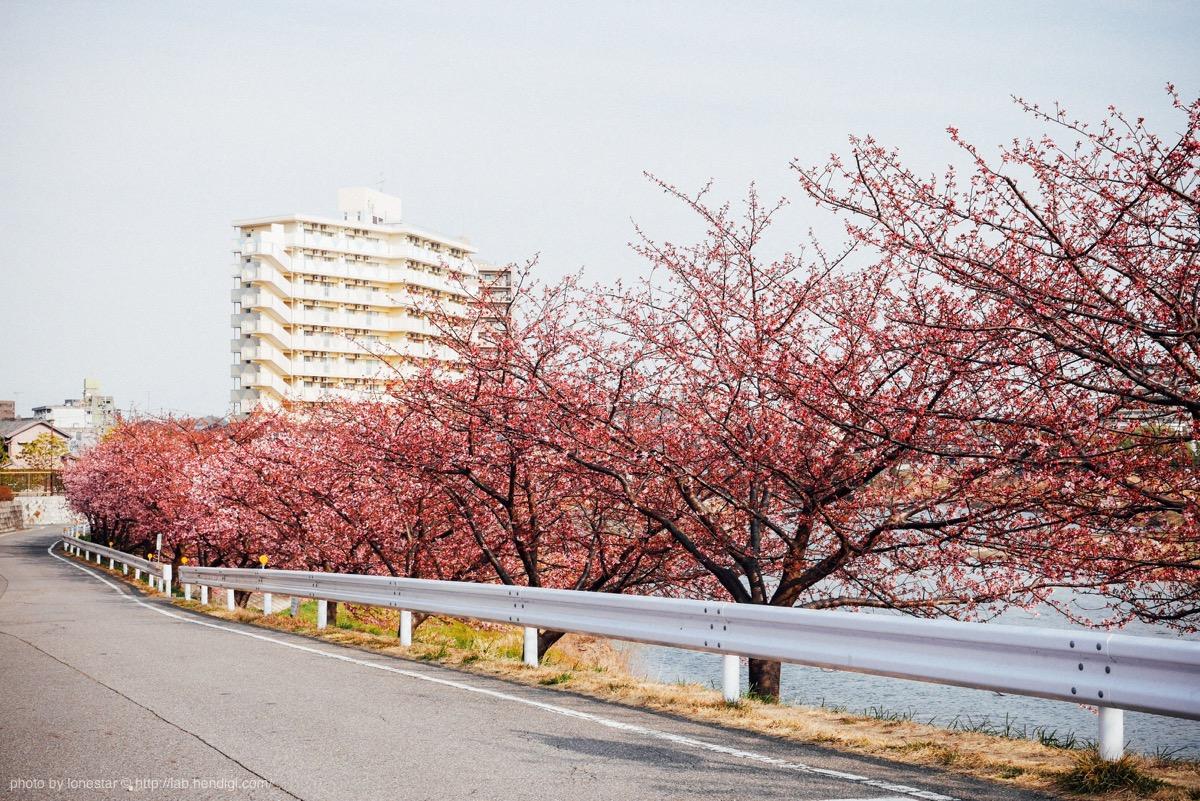 河津桜 岡崎