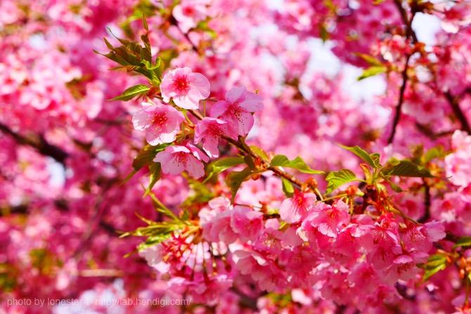 乙川 河津桜
