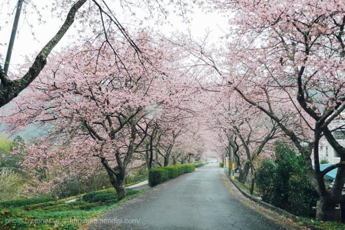 新城市 河津桜
