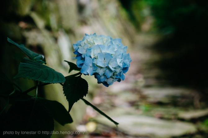本光寺 紫陽花