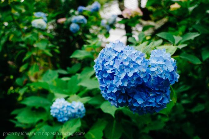 青 紫陽花