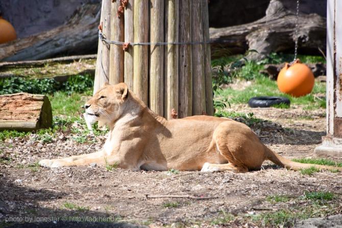 メス ライオン