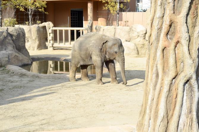 東山動物園 さくら