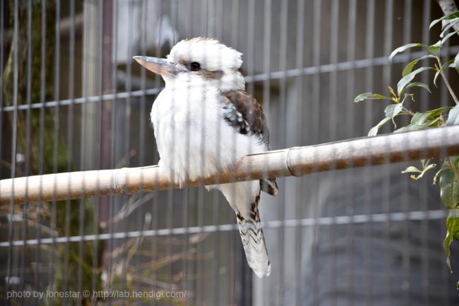 東山動物園 カワセミ
