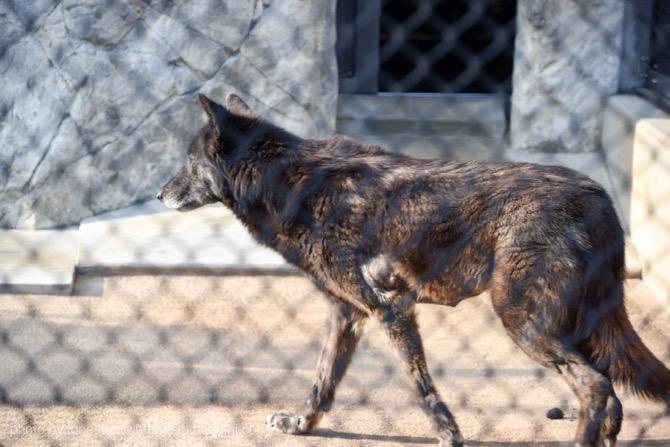 東山動物園 オオカミ