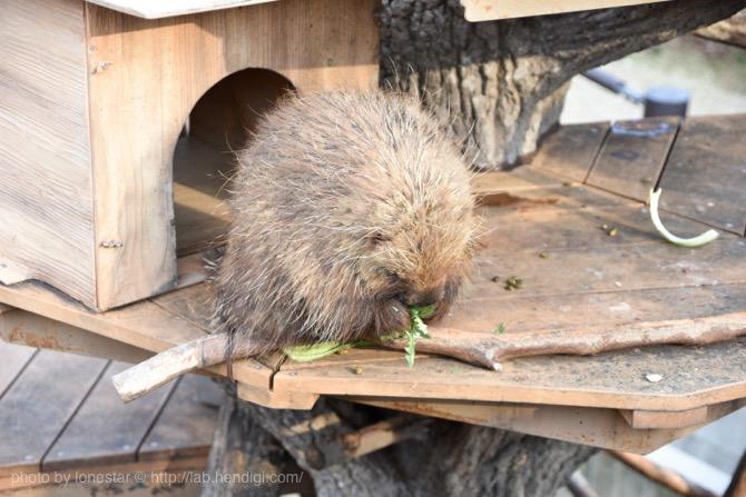 東山動物園 ヤマアラシ