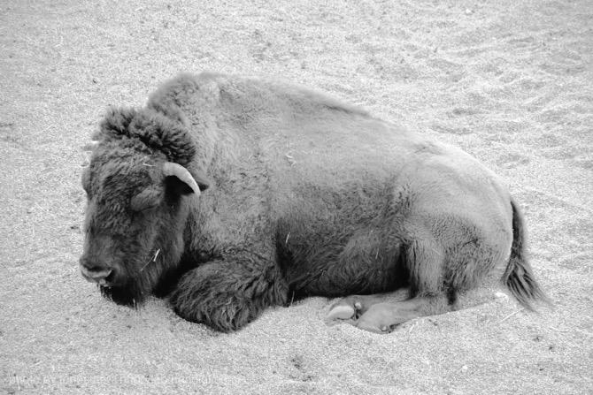 東山動物園 バイソン