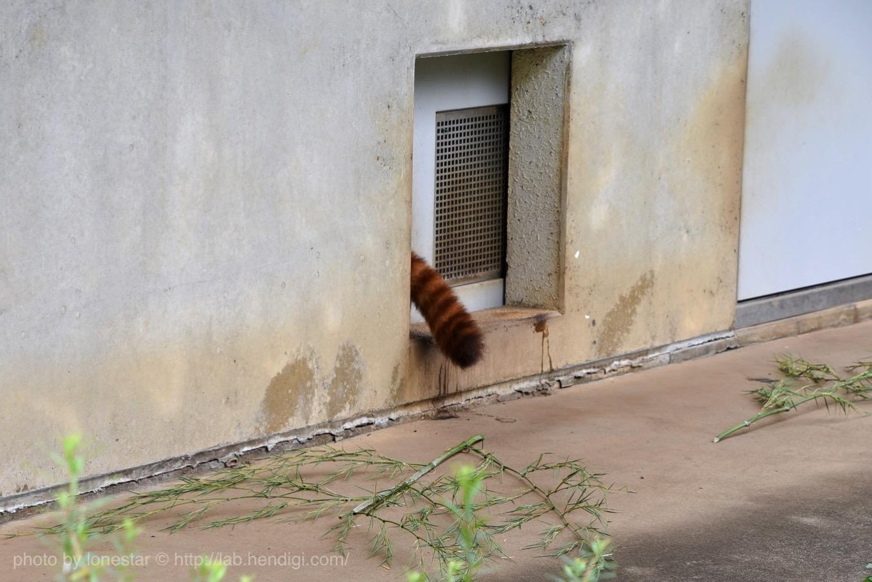 市川動物園 レッサーパンダ