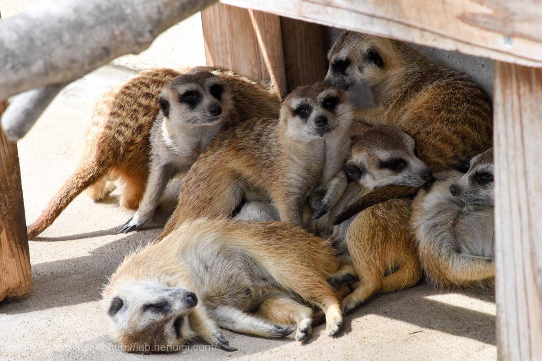 市川動物園 ミーアキャット