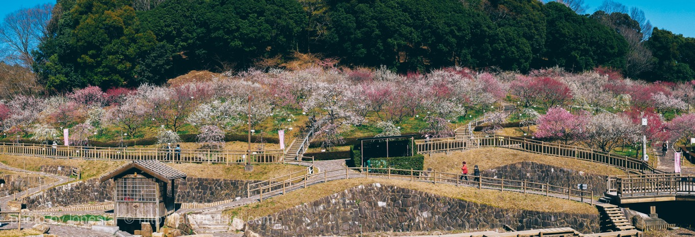 赤塚山公園 梅林
