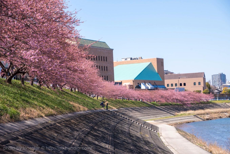 岡崎 河津桜