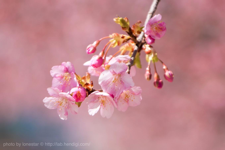 岡崎市 河津桜