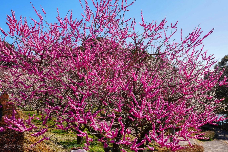 赤塚山公園 梅まつり