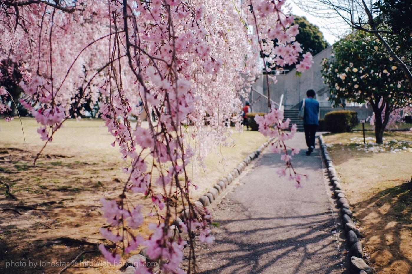 幸田町文化公園 しだれ桜まつり