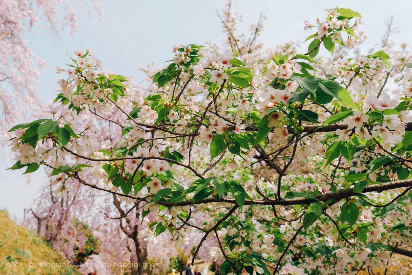 幸田町 桜