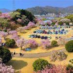 幸田町文化公園 しだれ桜