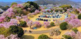 幸田町文化公園のしだれ桜まつり 塔の上から眺める20種500本の桜が絶景!