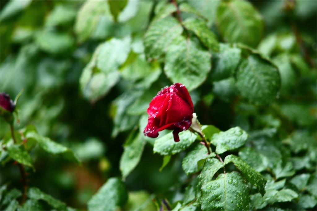 雨 植物 写真