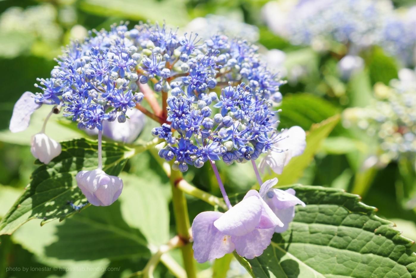 本光寺紫陽花まつり