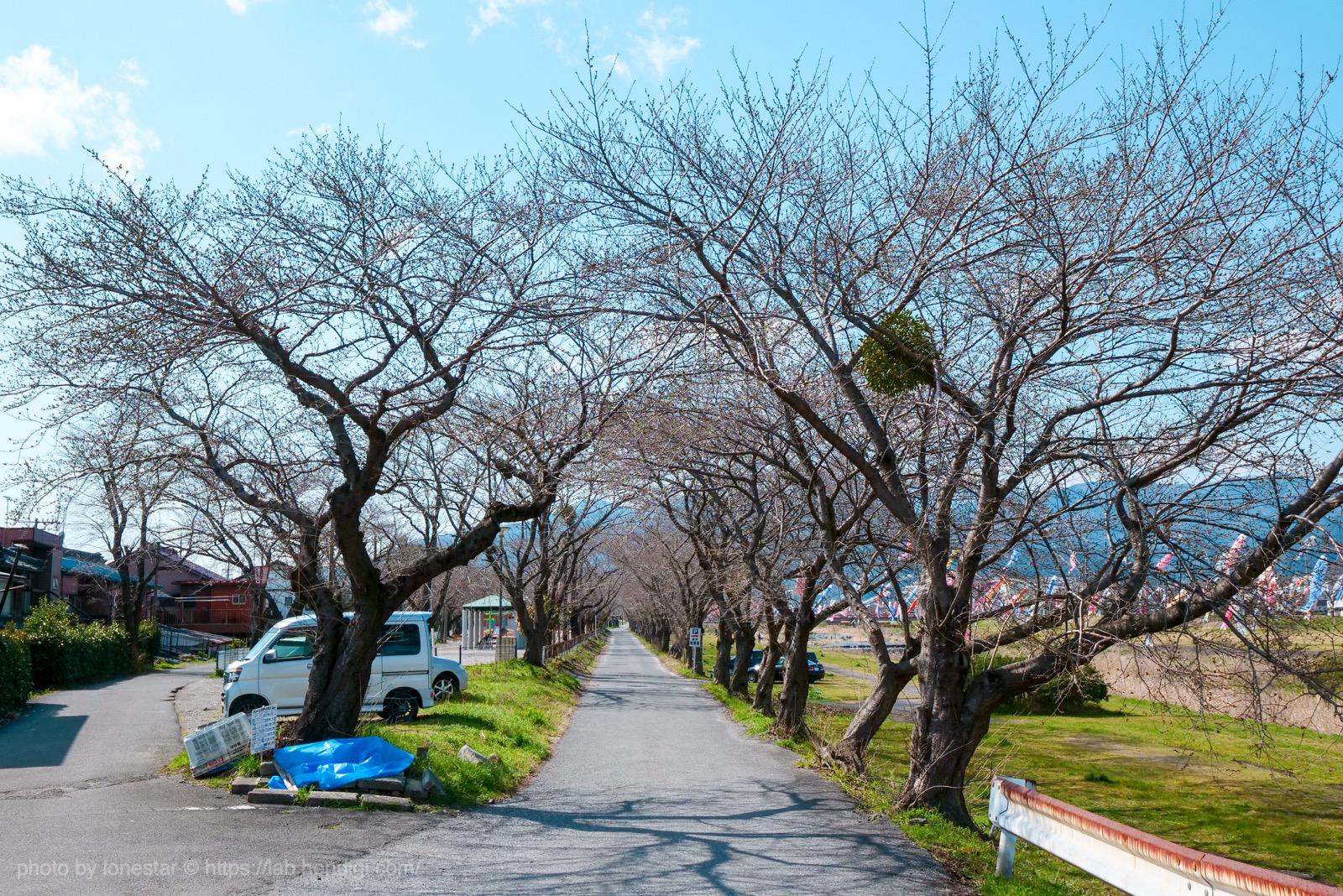 相川 桜並木
