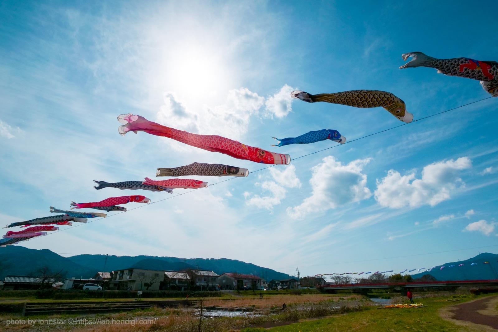 相川鯉のぼり一斉遊泳