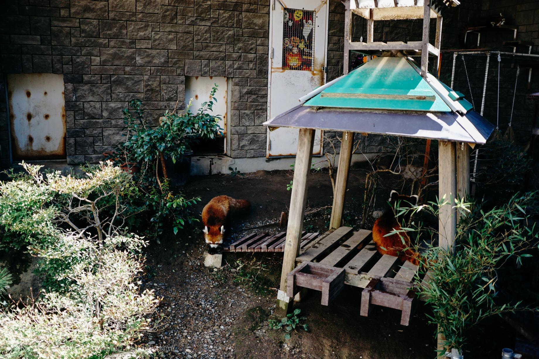浜松市動物園 レッサーパンダ