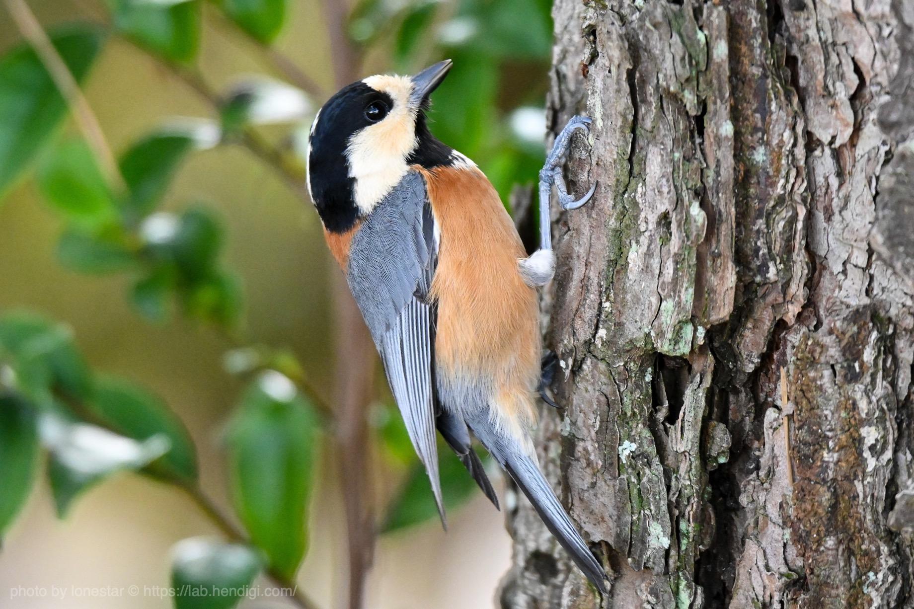 Nikon Z50 野鳥撮影
